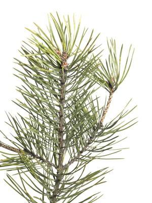 Narrow White Christmas Tree