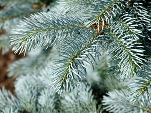 An example of a blue spruce tree