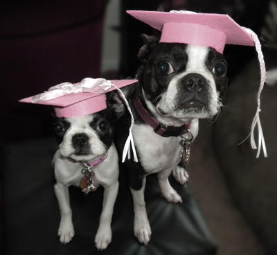 Pet Graduation Caps