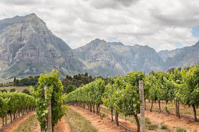 Vineyards in Stellenbosch South Africa