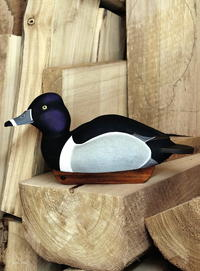 A Competition Gunning Ring-necked Duck