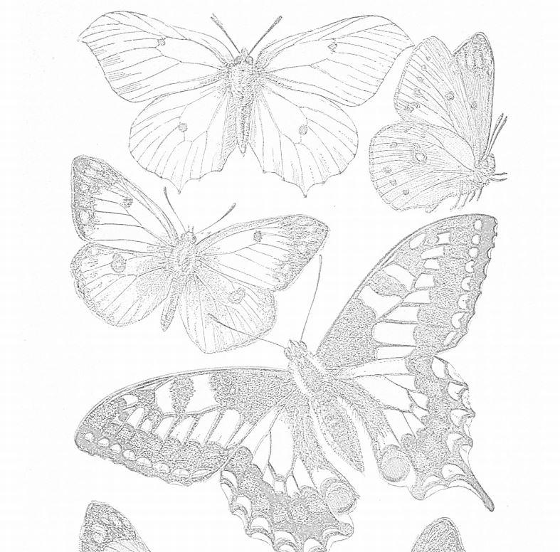 Delicate Butterfly Adult Coloring