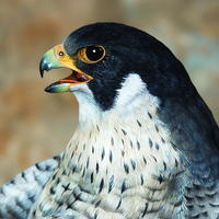 Carve a Peregrine Falcon Head