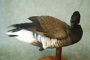 Pacific Brant, Part Two: Painting