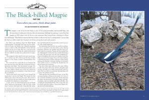 Carving the Black-billed Magpie