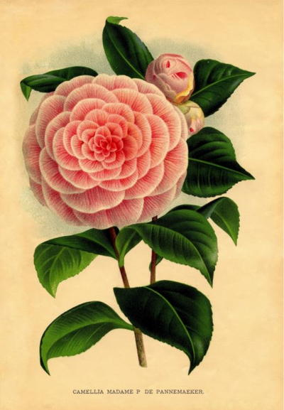 Victorian Pink Camellia Printable
