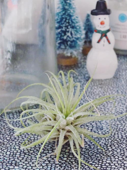 DIY Winter Wonderland Air Plant Terrarium