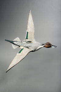 From Palm Tree to Pintail