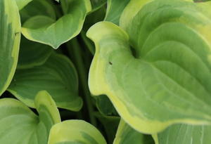 How to Divide and Transplant Hostas