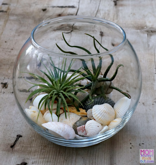 Budget-Friendly Air Plant Terrarium