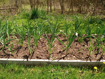 Re-Purposing Old Cloves How to Grow Garlic