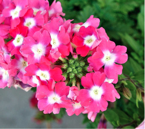 How to Grow Geraniums