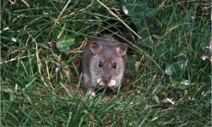 How to Keep Rodents Out of Your Garden