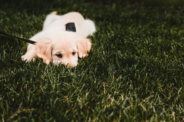 Lawn with golden retriever