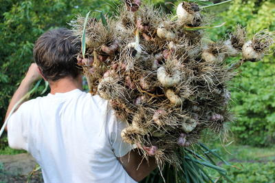 Growing Harvesting and Storing Garlic