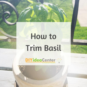 How to Trim Basil