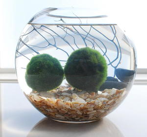Marimo Moss Ball Aquarium Diyideacenter