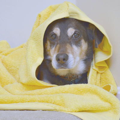 Pamper Your Senior Dog With A Diy Hooded Towel