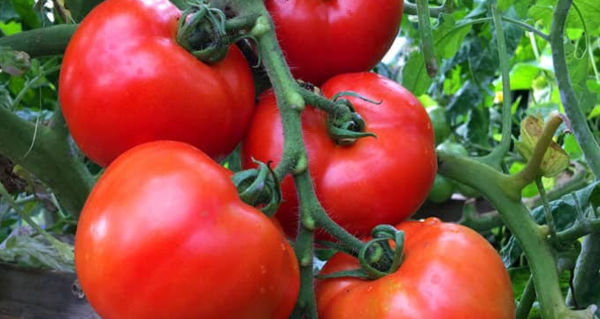 Growing Tomatoes in Small Gardens
