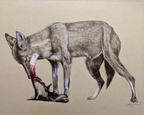 The endangered Ethiopian Wolf. They are the world's rarest canid species. Drawn in ballpoint pen.