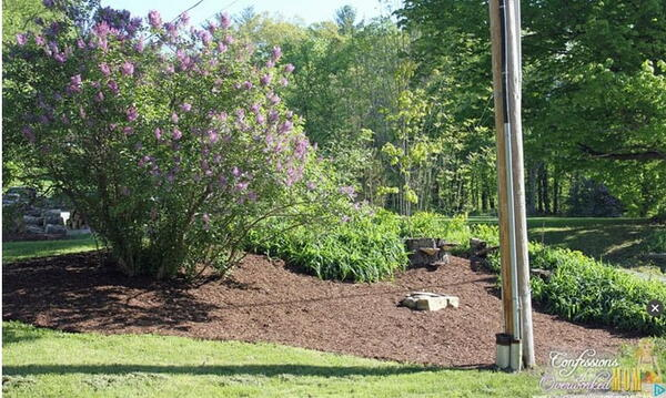 Lilacs and Landscaping Ideas